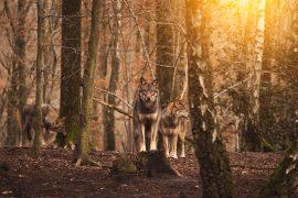 Lupi in un bosco
