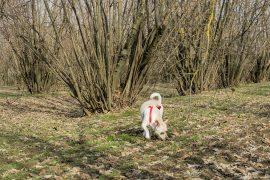 Cane alla ricerca del tartufo in un noccioleto