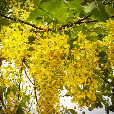 Laburnum anagyroides pianta velenosa per i cani